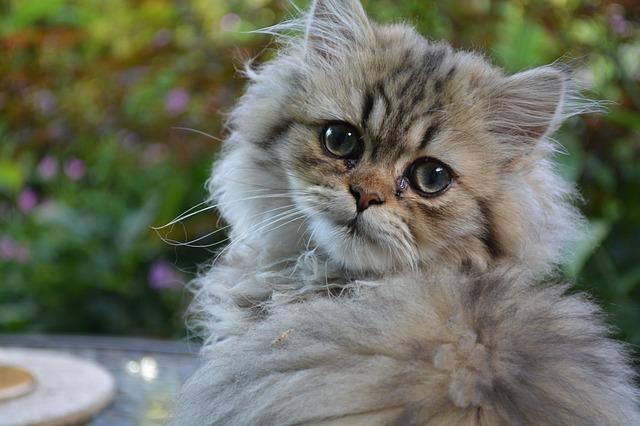 kačių veislės